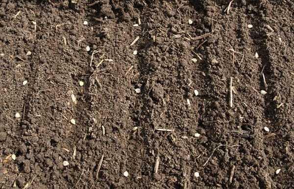 посадить семена помидор в открытый грунт