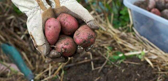 какой картофель лучше посадить