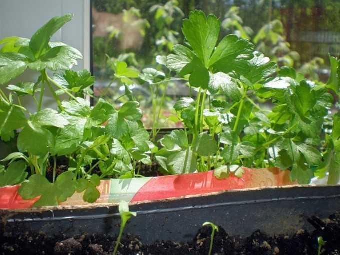 как посадить петрушку дома из семян