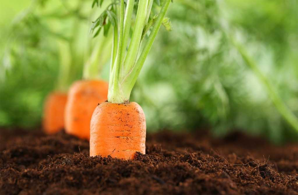 посадка моркови под осень