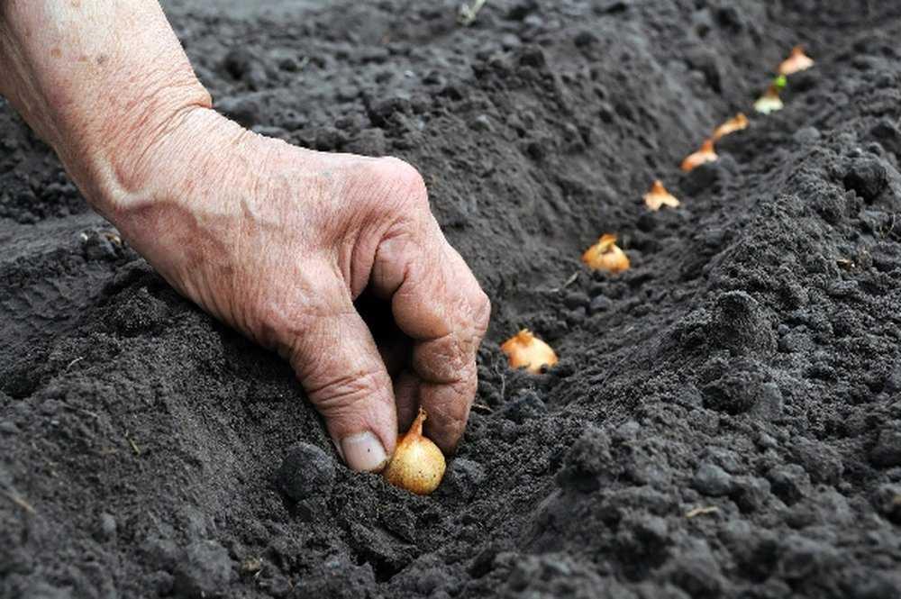 посадить семейный лук под зиму
