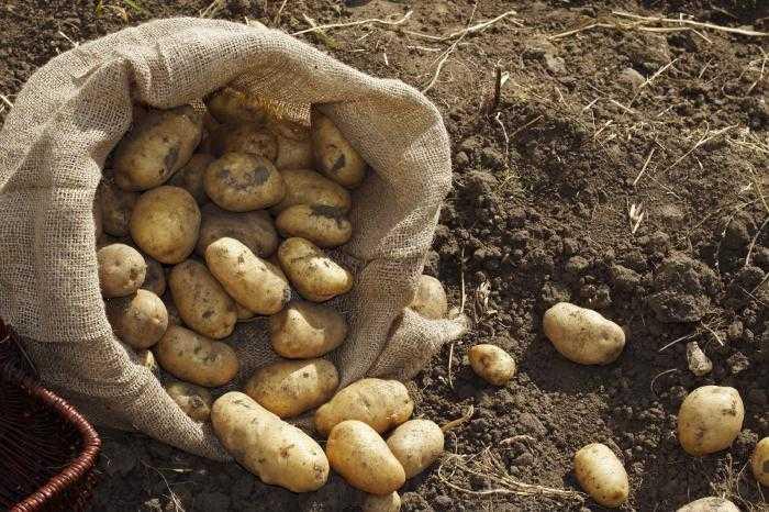 как посадить картофель под травой