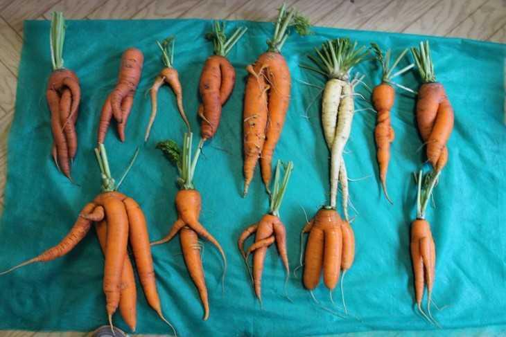 корявая морковь в результате не правильного полива