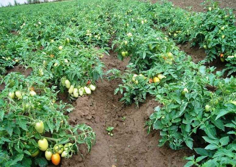 можно ли сажать помидоры в открытый грунт