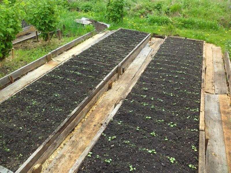 как посадить укроп в открытый грунт