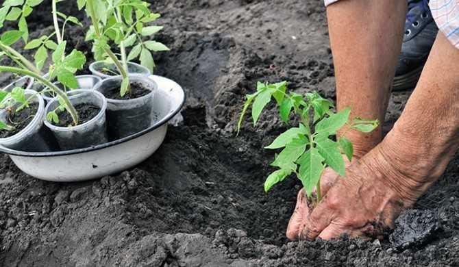 как сажать помидоры в открытый грунт