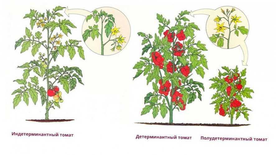 посадить помидоры в открытый грунт