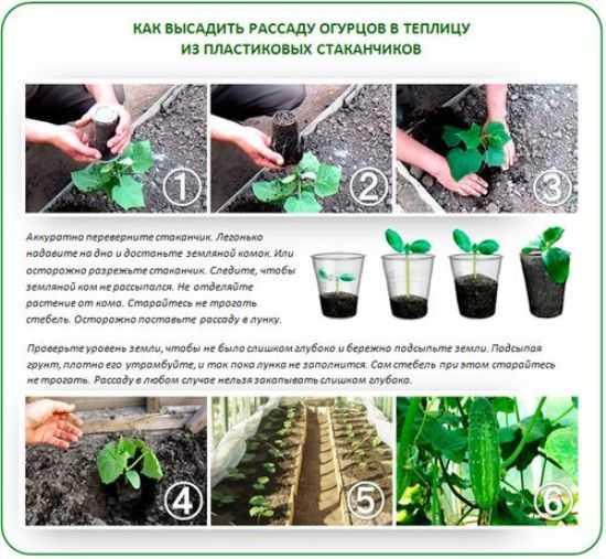 как правильно посадить рассаду огурцов