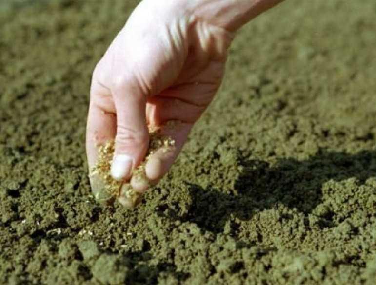 как посадить петрушку в открытый грунт