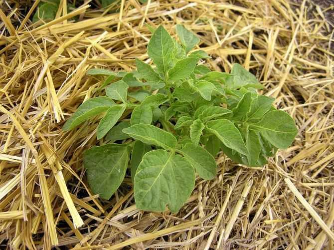 картофельный побег пробившийся через соломенную мульчу
