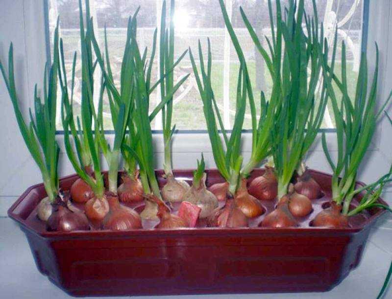 как посадить лук дома в воде
