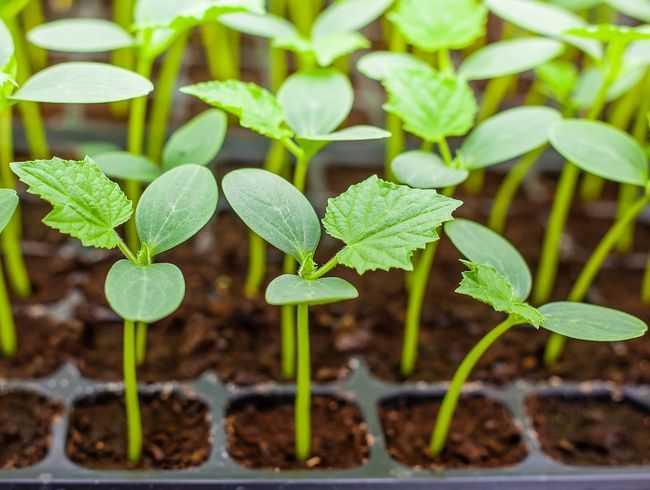 посадить рассаду огурцов