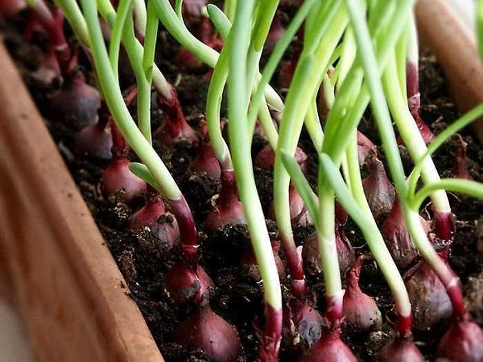 посадить лук на зелень дома
