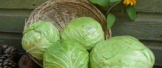 капуста белокочанная выращивание и уход