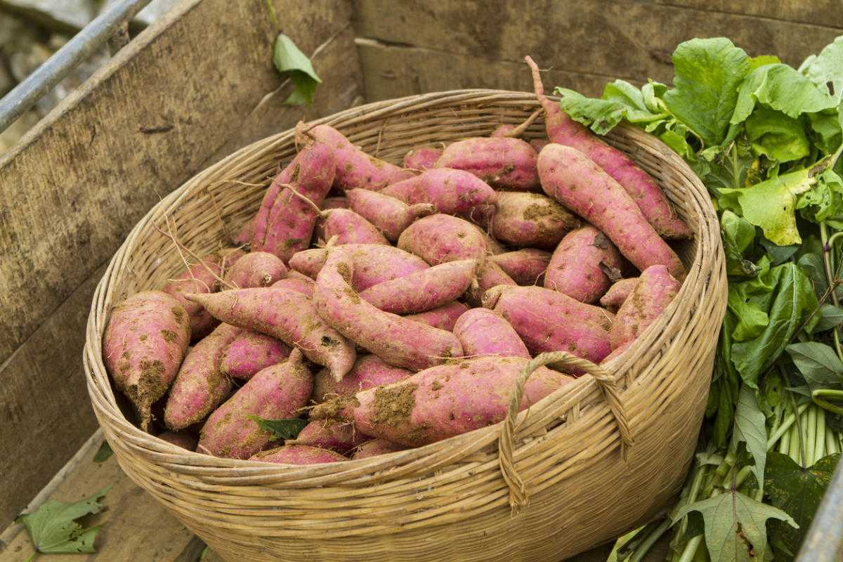 урожайность батата