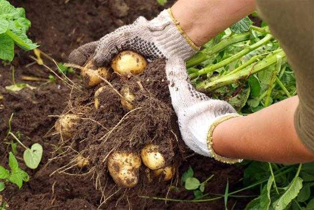 рекордный урожай картофеля