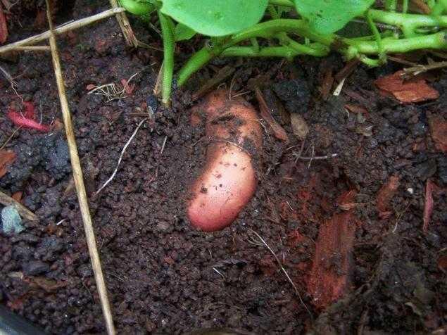 какая почва нужна батату