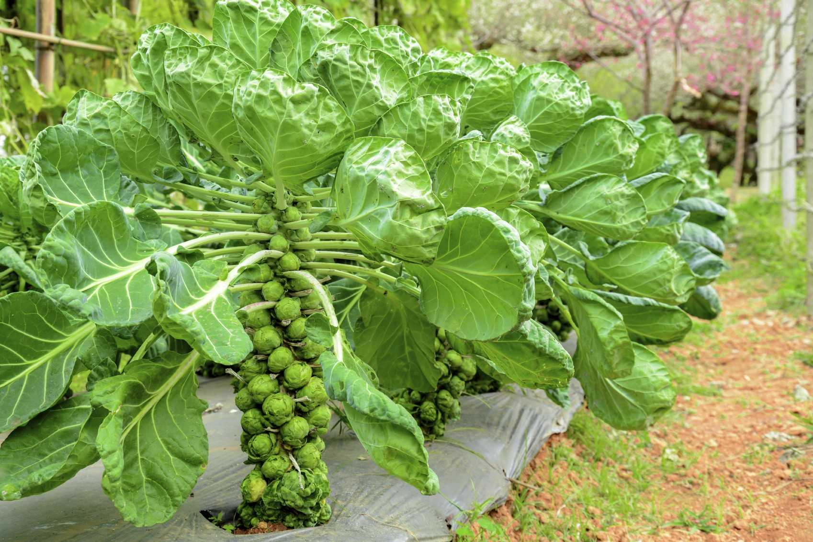 выращивание брюссельской капусты в открытом грунте
