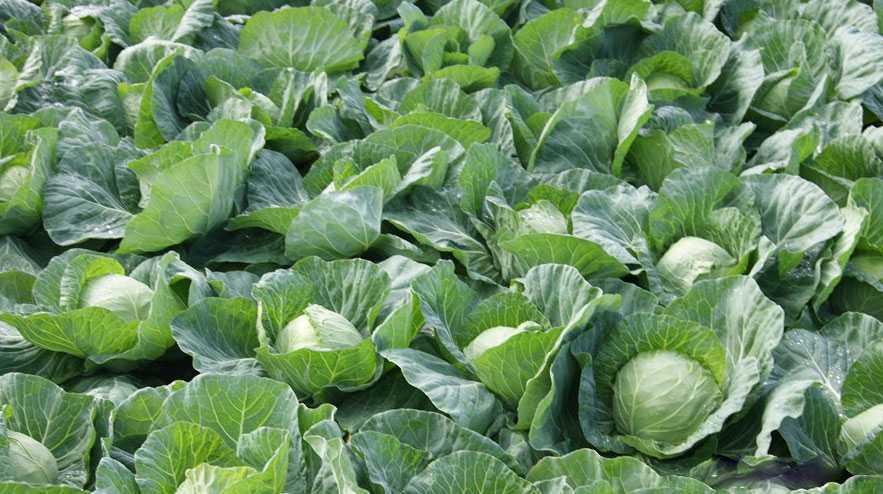 секреты выращивания капусты белокочанной