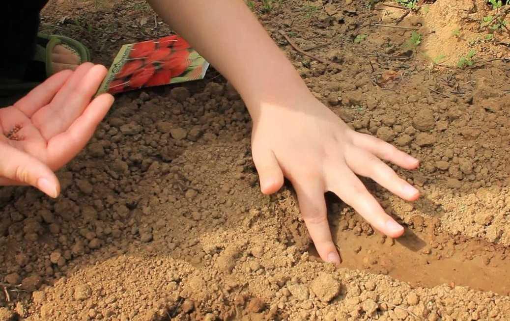 посадить семена редиса