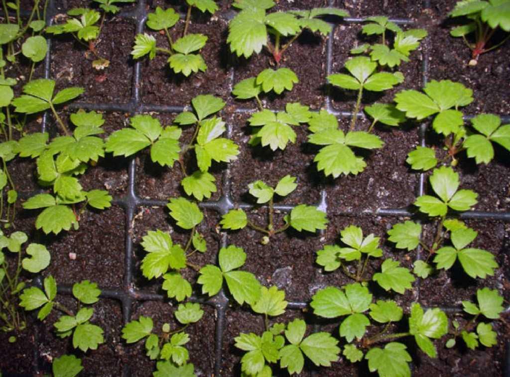выращивание земляники из семян
