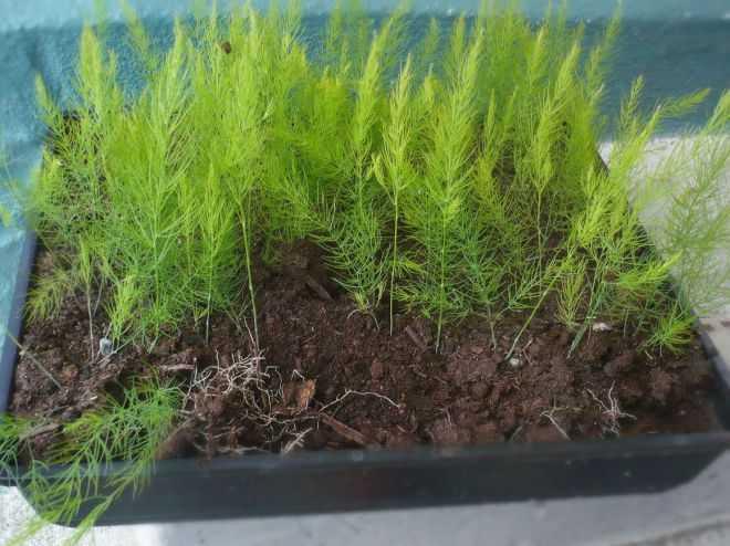 как посадить спаржу на даче