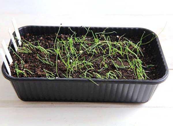 как правильно посадить лук чернушку под зиму