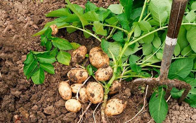 как получить урожай картофеля пораньше