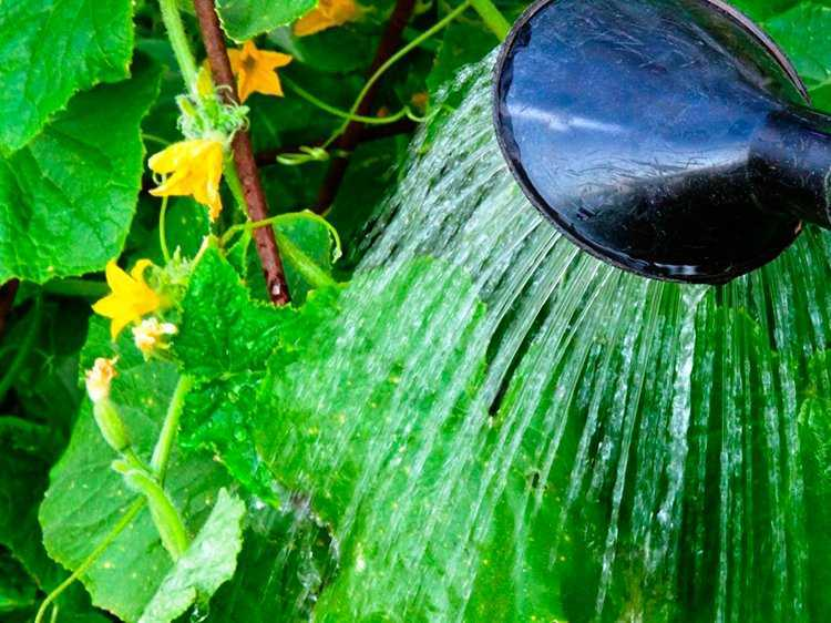 как поливать огурцы