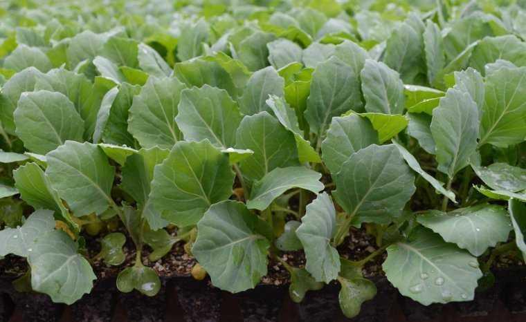 капуста белокочанная выращивание и уход в открытом