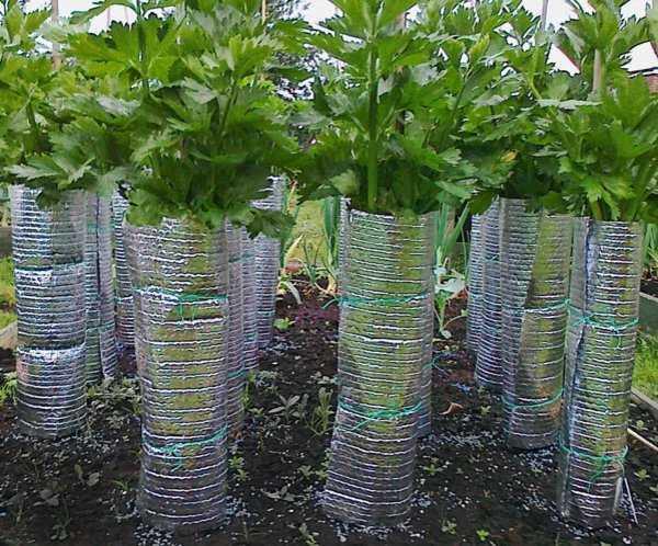 отбеливание стеблей сельдерея