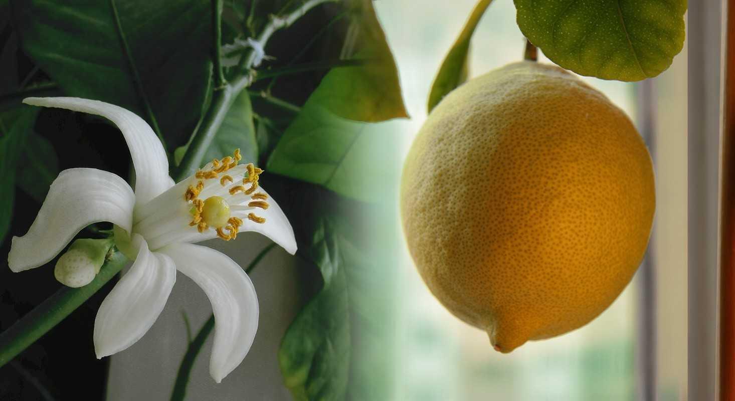созревание лимона