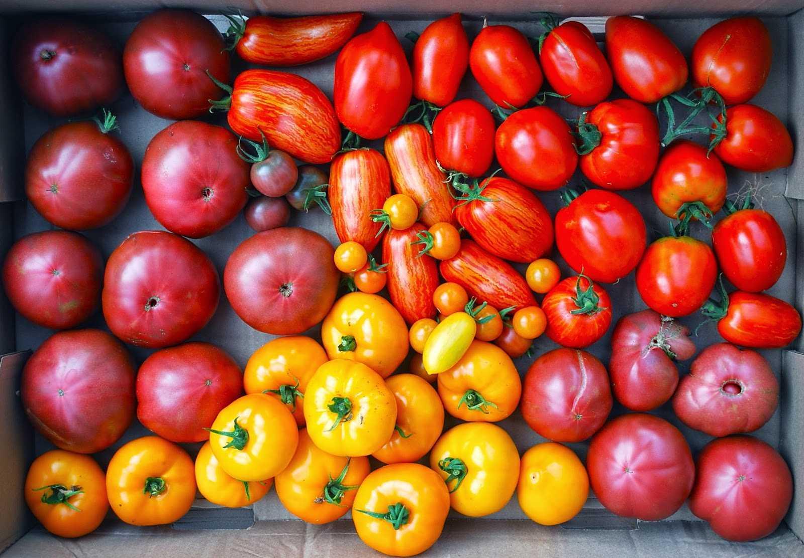 все помидоры можно поливать слабым раствором йода