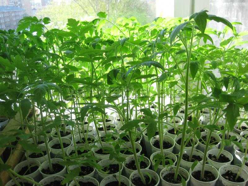какие посадить помидоры на рассаду