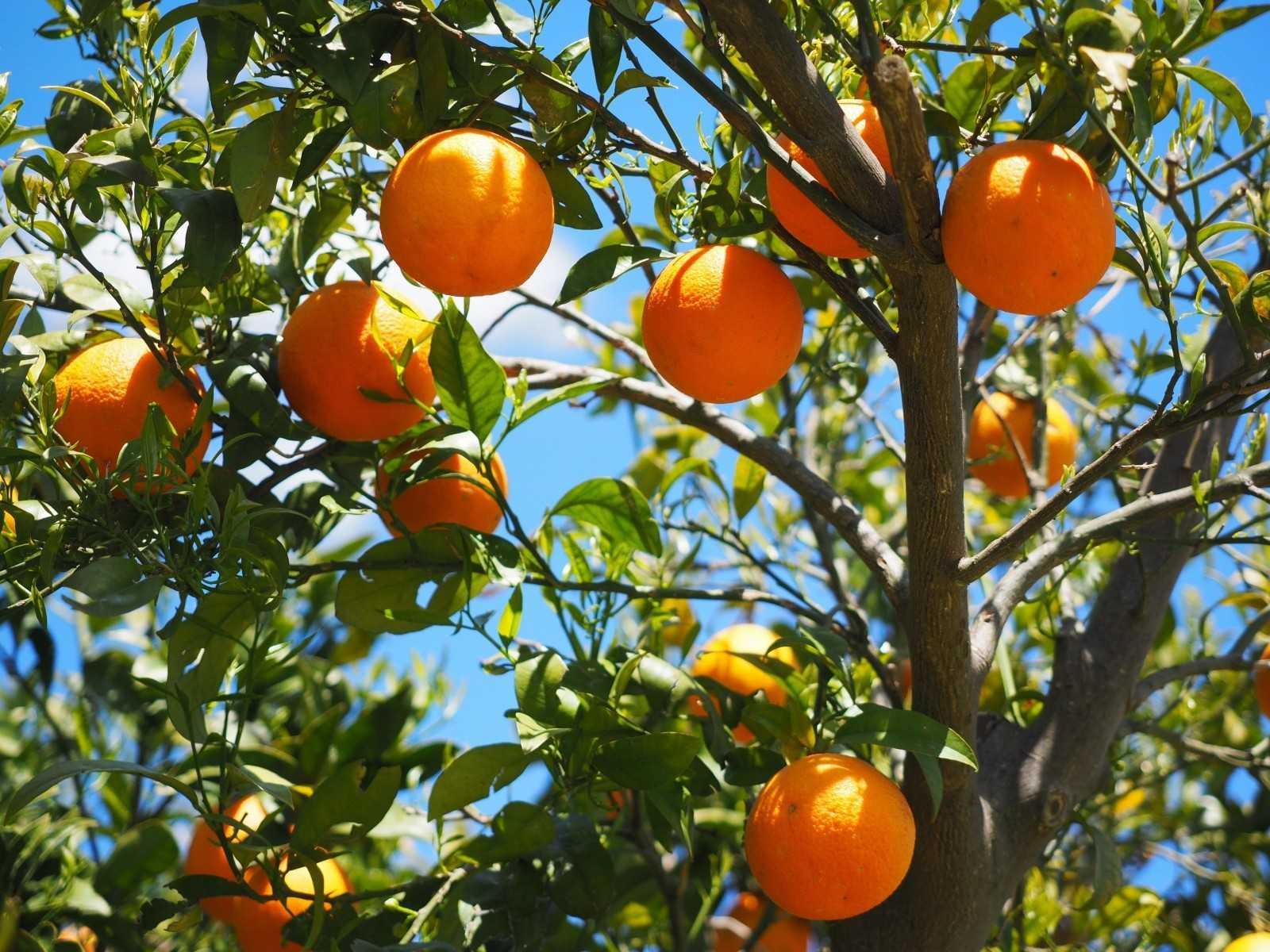 выращивание апельсинов