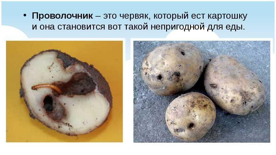 проволочник уничтожает корнеплоды
