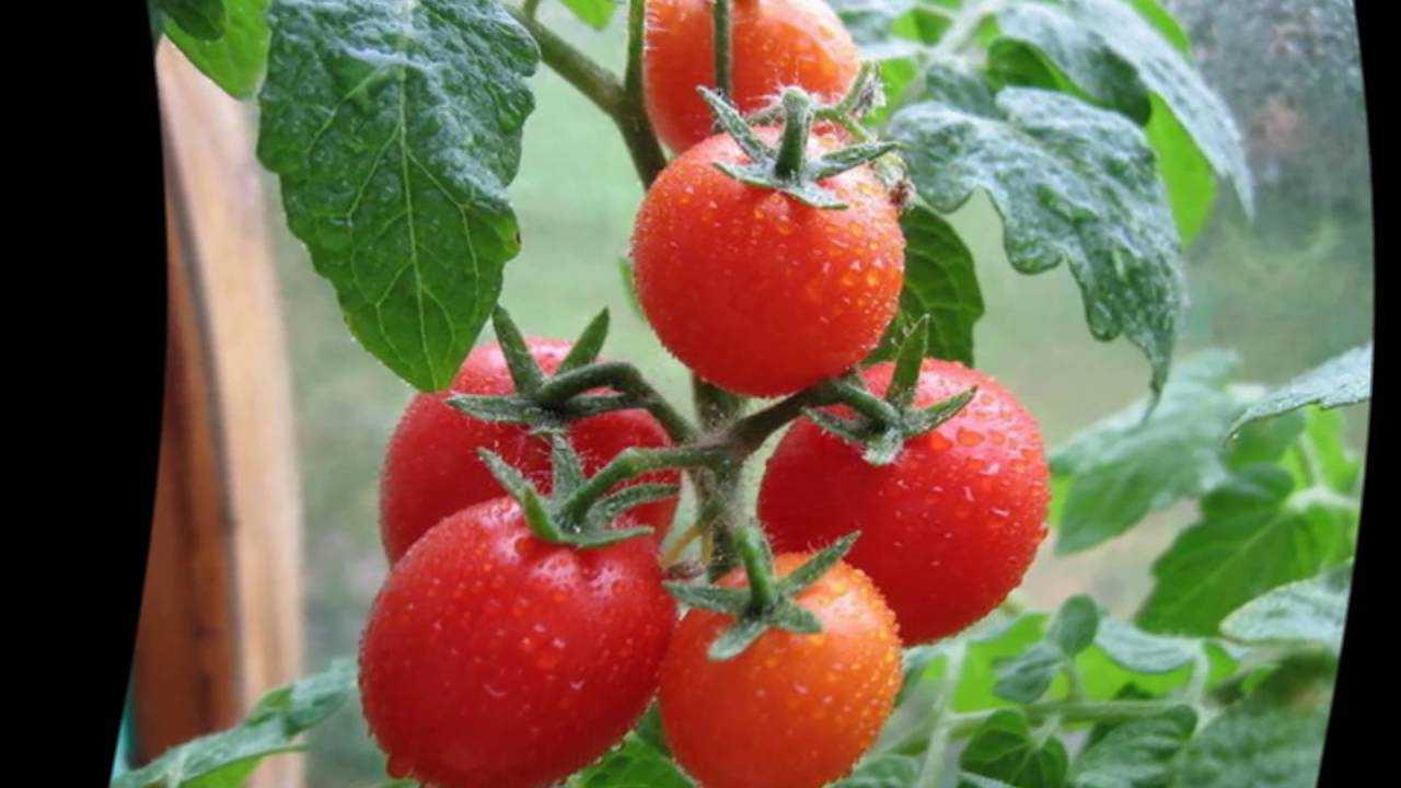 полить помидоры содой