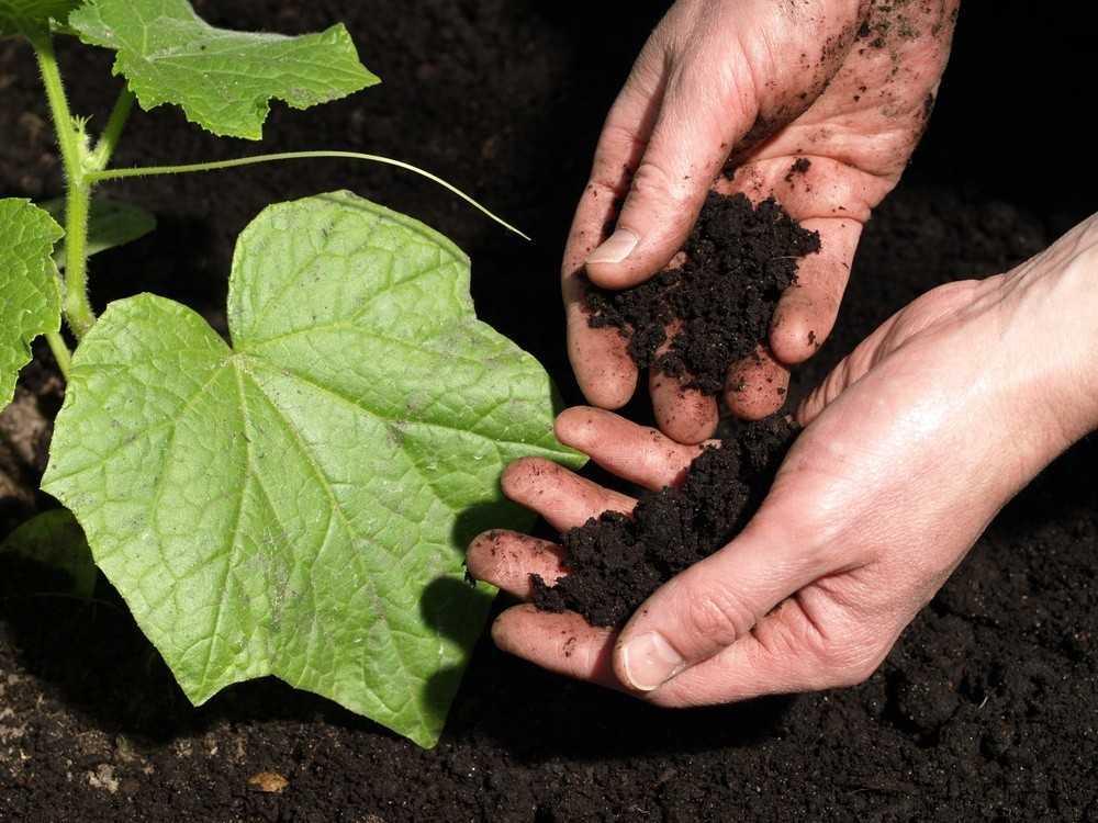 На каких почвах лучше выращиватьогурцы?