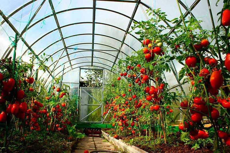 как сажать помидоры в теплице из поликарбоната