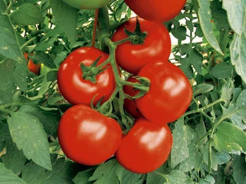 как посадить помидоры в теплице из поликарбоната