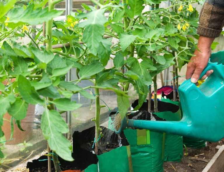 как поливать помидоры в период цветения