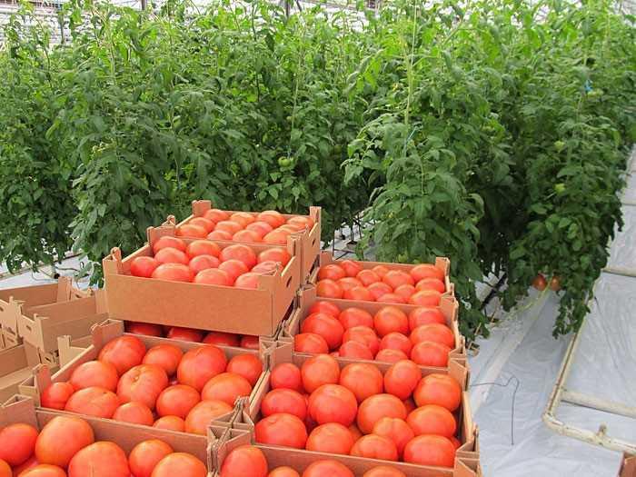 теплица из поликарбоната как правильно посадить помидоры
