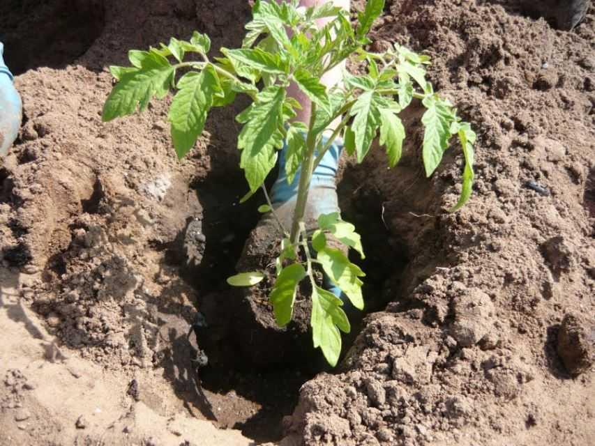 высадка рассады помидор