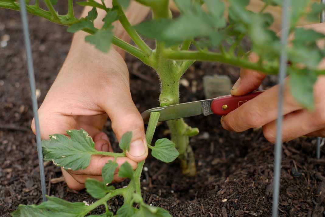 удаление нижних листьев у помидор