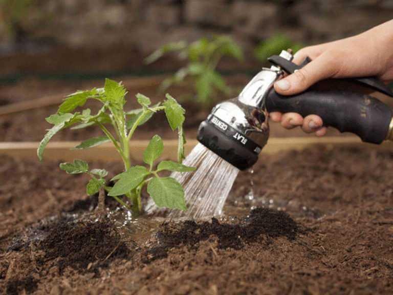 как поливать помидоры в грунте