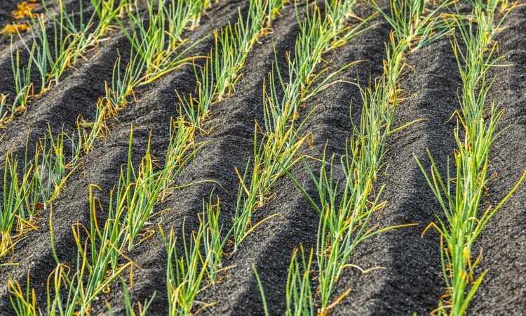 признаки нехватки азота у лука