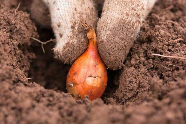 как садить лук осенью
