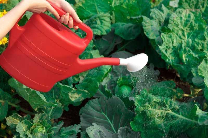 полив савойской капусты