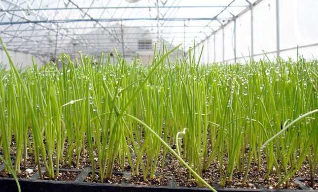 как поливать зеленый лук в теплице