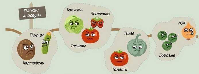 после чего сажать помидоры в теплице